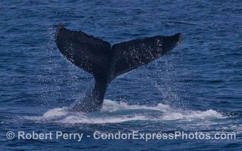 A closer look at a tail slapping Humpback Whale (Megaptera novaeangliae).