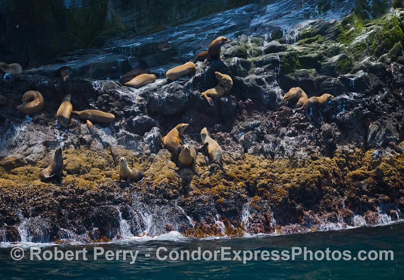 California Sea Lions (Zalophus californianus) hauled out on the rocky ledges of Santa Cruz Island.