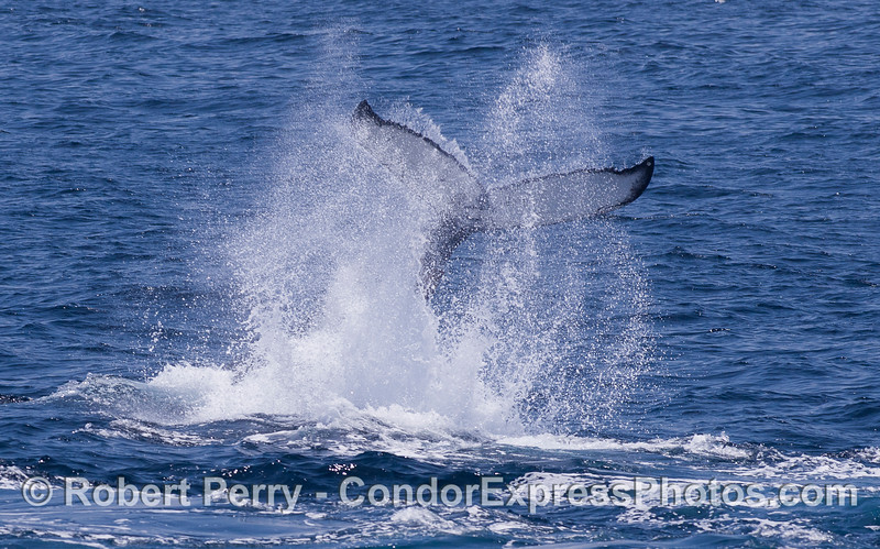 The powerful tail of a Humpback Whale (Megaptera novaeangliae) thrashes the ocean surface.