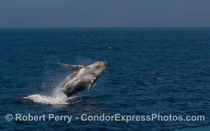 Image 1 of 3:  Humpback Whale (Megaptera novaeangliae) breach sequence.