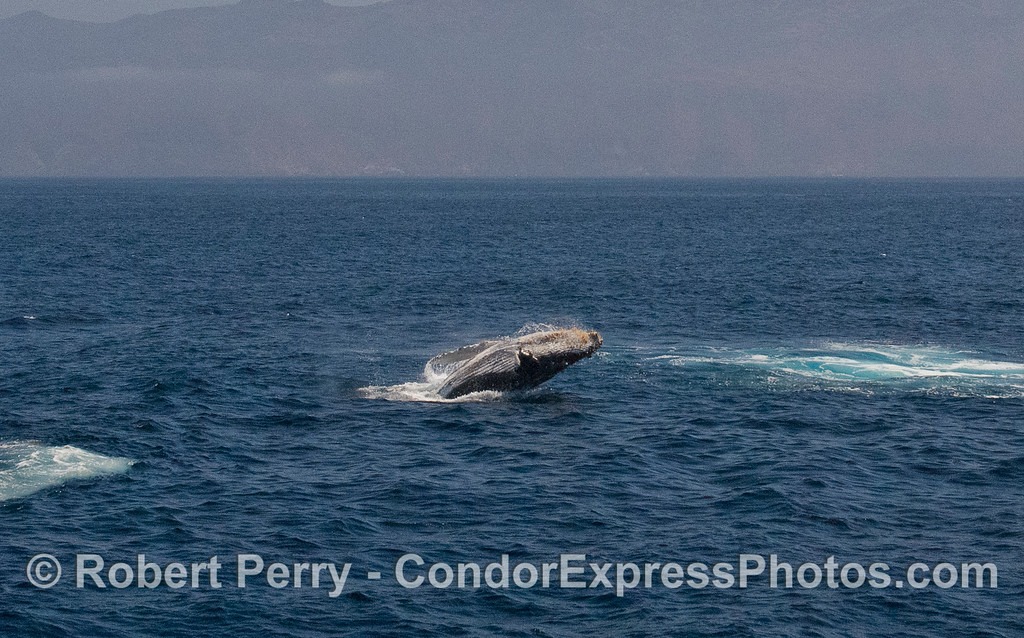Image 4 of 5:  Humpback Whale (Megaptera novaeangliae) breach with Santa Cruz Island in back.