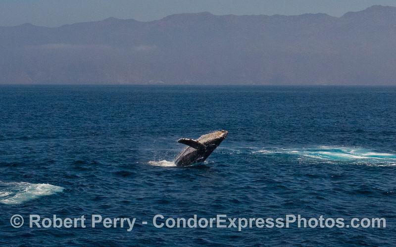 Image 3 of 5:  Humpback Whale (Megaptera novaeangliae) breach with Santa Cruz Island in back.