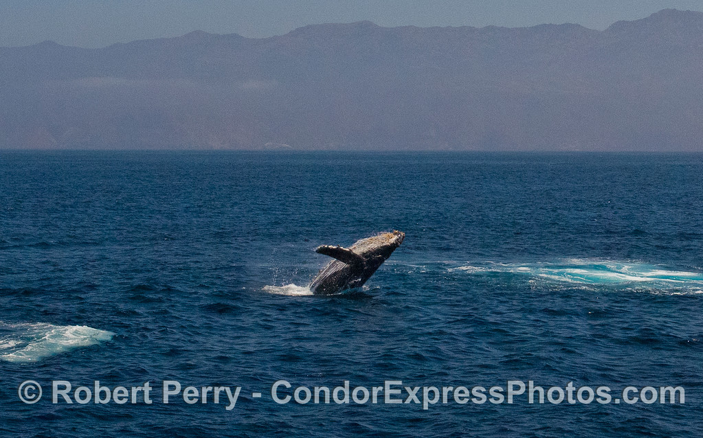 Image 3 of 5:  Humpback Whale (Megaptera novaeangliae) breach with Santa Cruz Island in back.