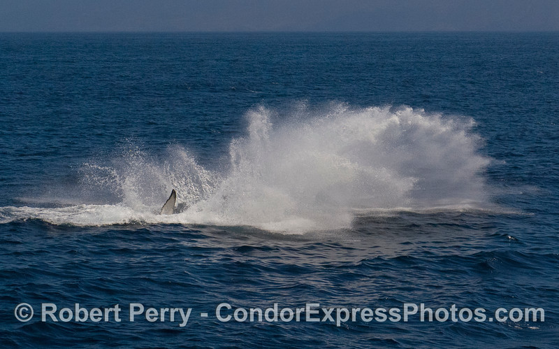 Image 3 of 3:  Humpback Whale (Megaptera novaeangliae) breach sequence.