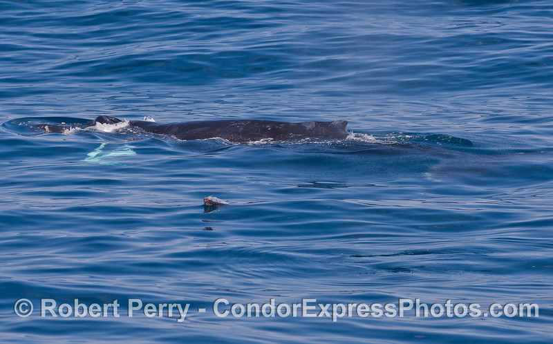 A California Sea Lion (Zalophus californianus) pesters a Humpback Whale (Megaptera novaeangliae).