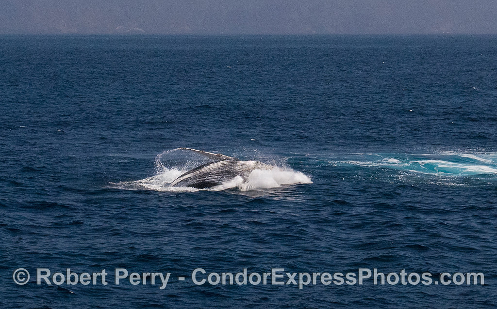 Image 5 of 5:  Humpback Whale (Megaptera novaeangliae) breach with Santa Cruz Island in back.