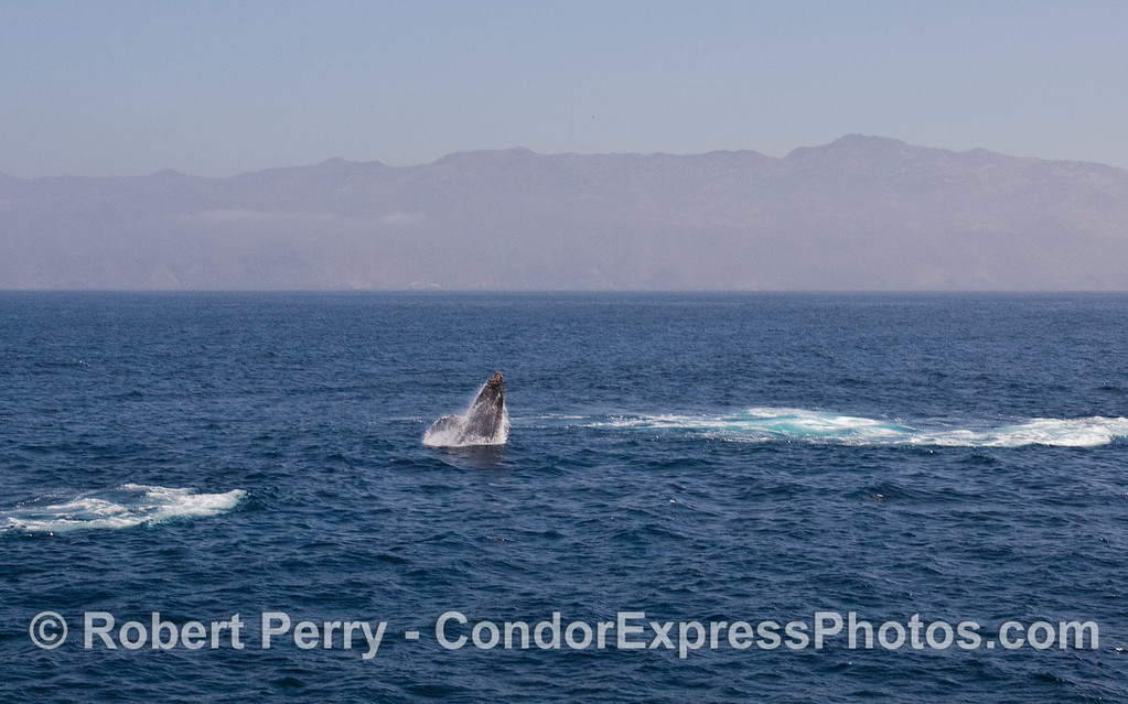 Image 1 of 5:  Humpback Whale (Megaptera novaeangliae) breach with Santa Cruz Island in back.