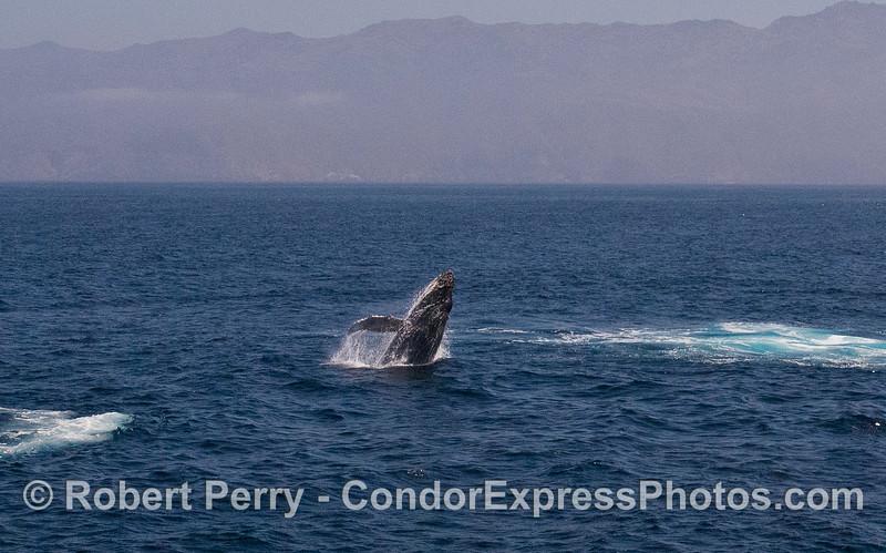 Image 2 of 5:  Humpback Whale (Megaptera novaeangliae) breach with Santa Cruz Island in back.