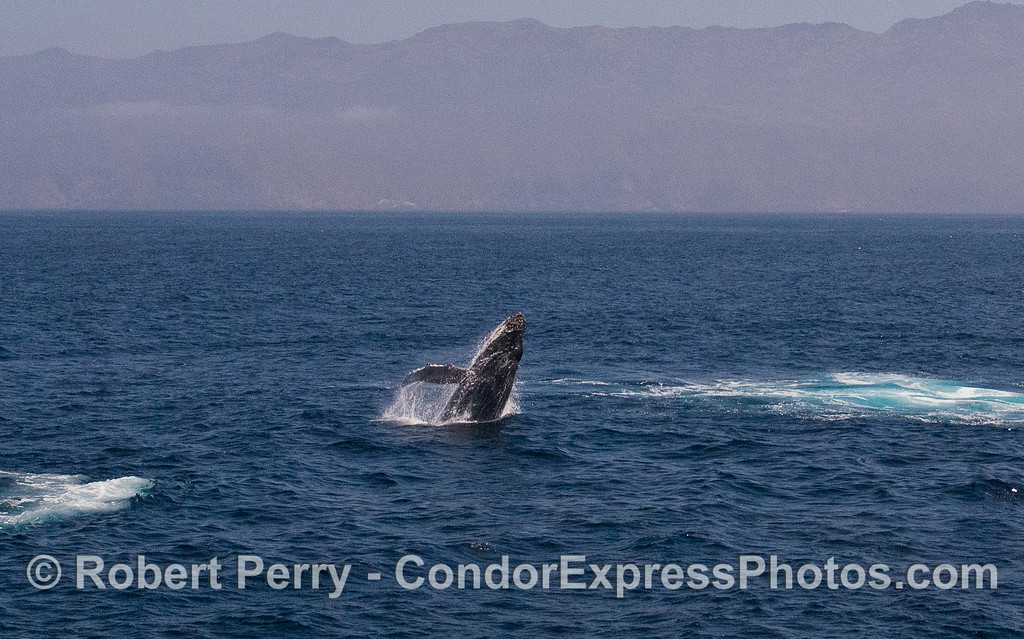 Image 2 of 5:  Humpback Whale (Megaptera novaeangliae) breach with Santa Cruz Island in back.