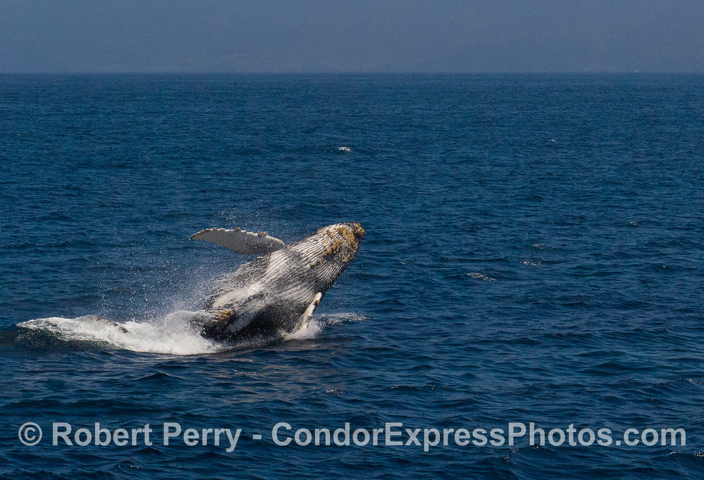 Image 2 of 3:  Humpback Whale (Megaptera novaeangliae) breach sequence.
