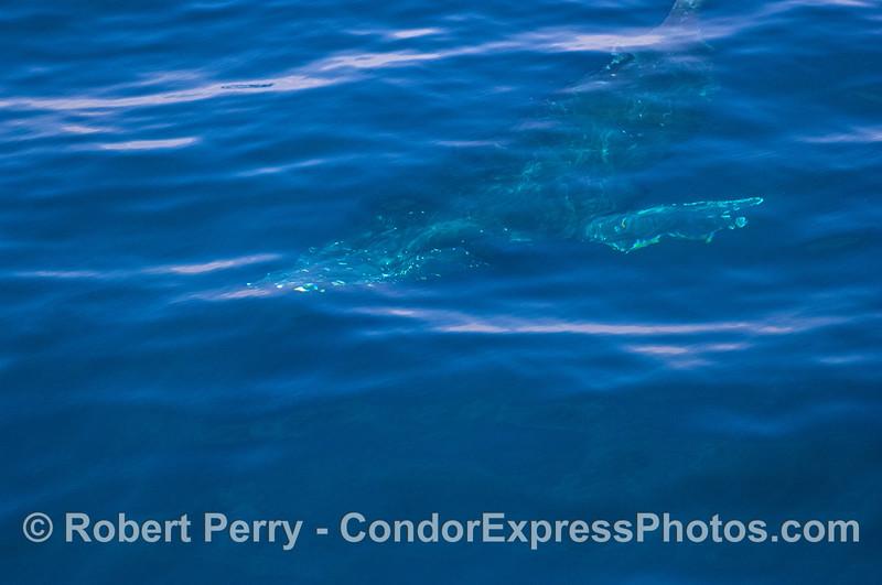 Humpback Whale (Megaptera novaeangliae) underwater (image 2).