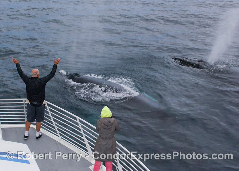 Two extremely friendly Humpback Whales (Megaptera novaeangliae).
