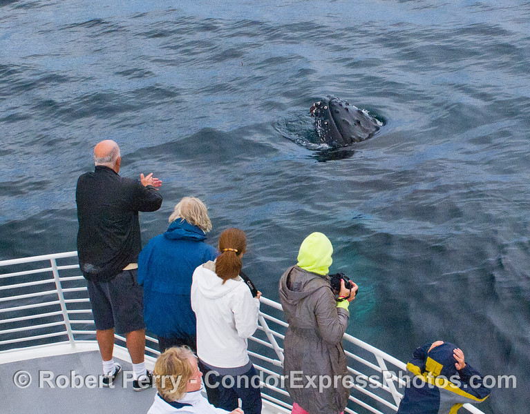 An extremely friendly Humpback Whale (Megaptera novaeangliae) spyhops.