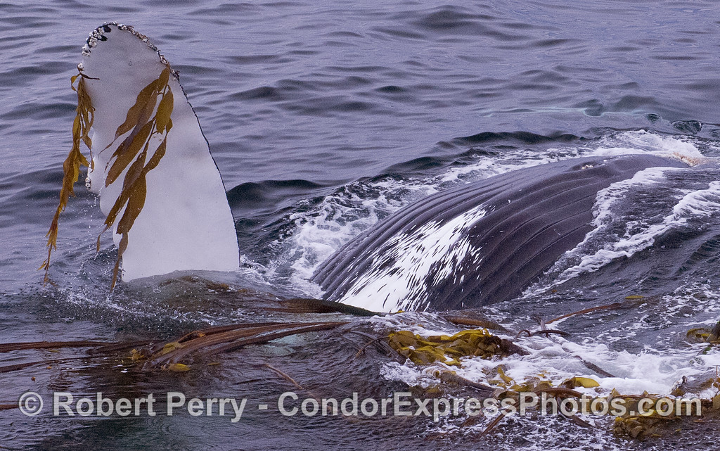 Humpback Whale (Megaptera novaeangliae), upside down, interacting with kelp (Nereocystis lutkeana and Macrocystis pyrifera).