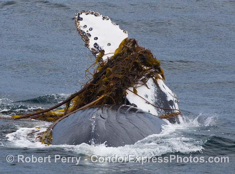 Humpback Whale (Megaptera novaeangliae) rolling around in the kelp (Nereocystis lutkeana and Macrocystis pyrifera).