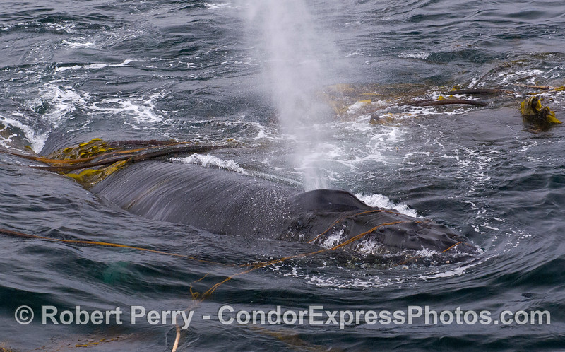 Humpback Whale (Megaptera novaeangliae) interacting with kelp (Nereocystis lutkeana and Macrocystis pyrifera) draped over its head and back.