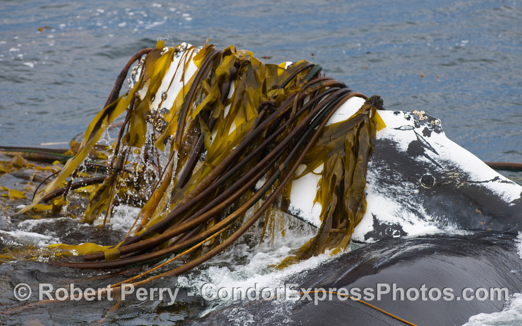 Humpback Whale (Megaptera novaeangliae) interacting with kelp (Nereocystis lutkeana and Macrocystis pyrifera).