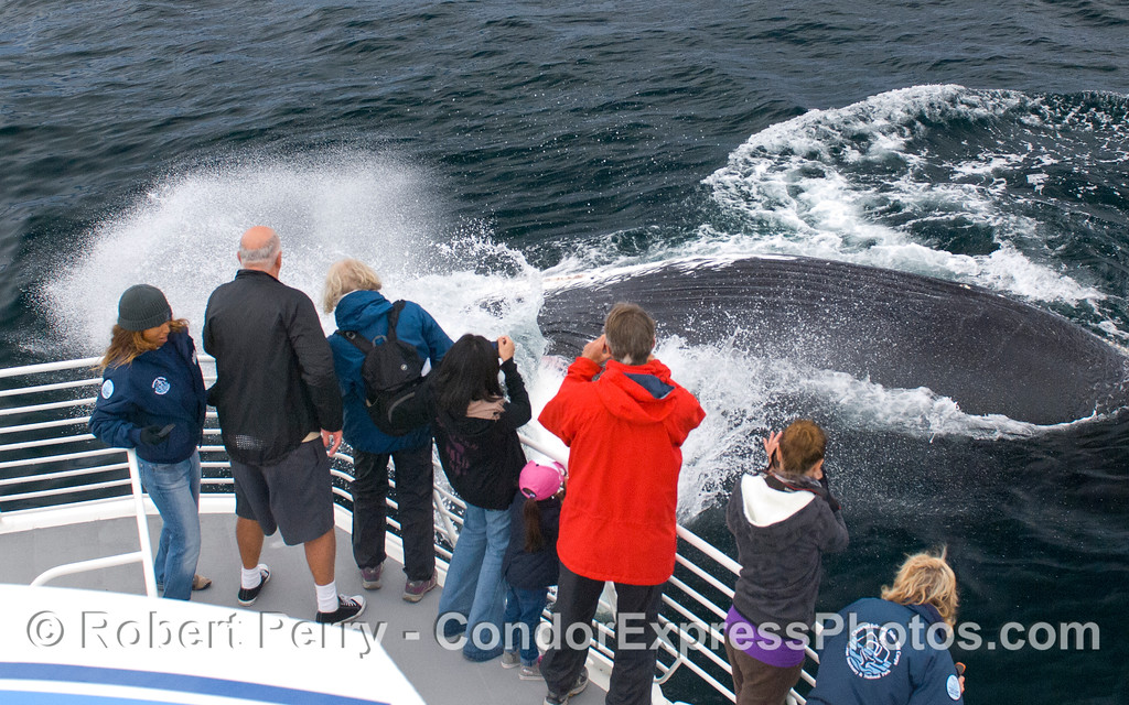 An upside down extremely friendly Humpback Whale (Megaptera novaeangliae) slaps its big pectoral fin close to the whalers on the Condor Express.  CINC naturalists Mimi and Vivi are there to provide interpretation.