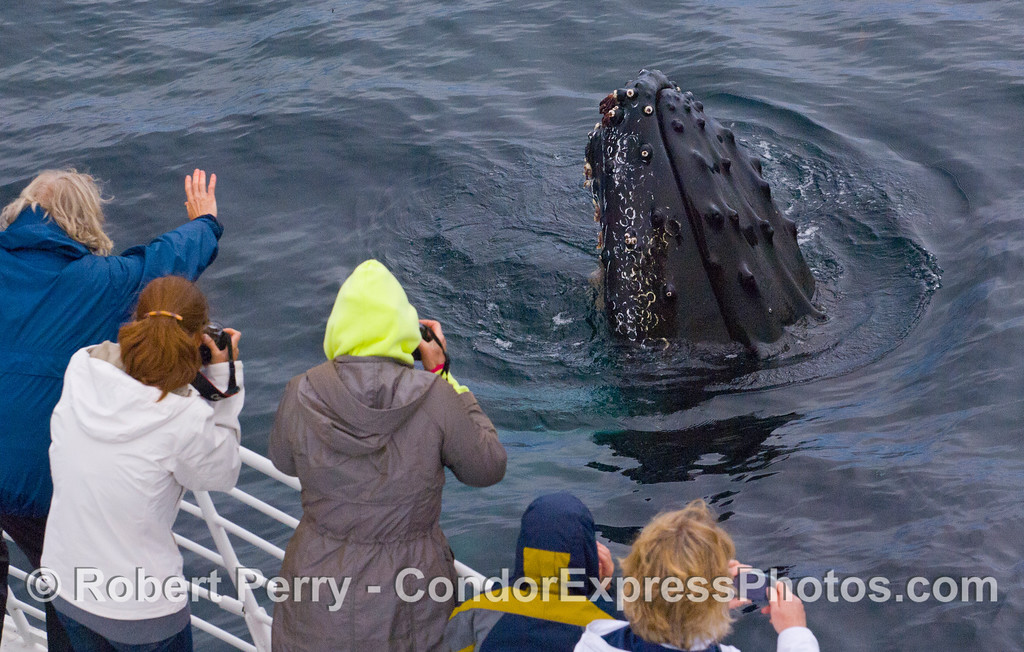 An extremely friendly Humpback Whale (Megaptera novaeangliae) spyhops to see the whalers on board the Condor Express.