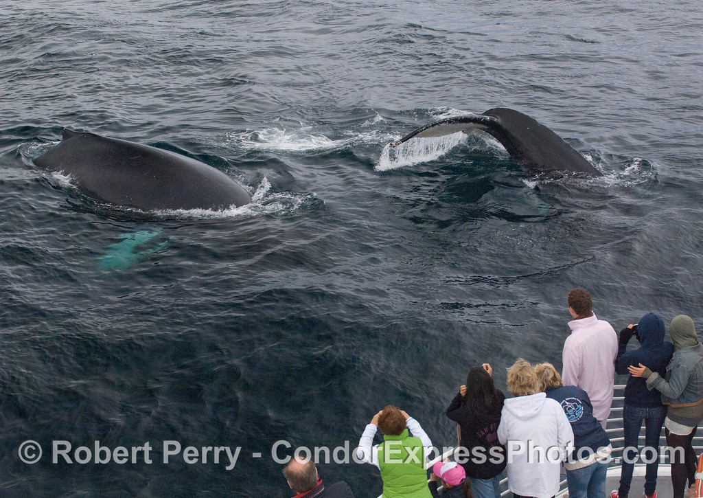 Multiple extremely friendly Humpback Whales (Megaptera novaeangliae).