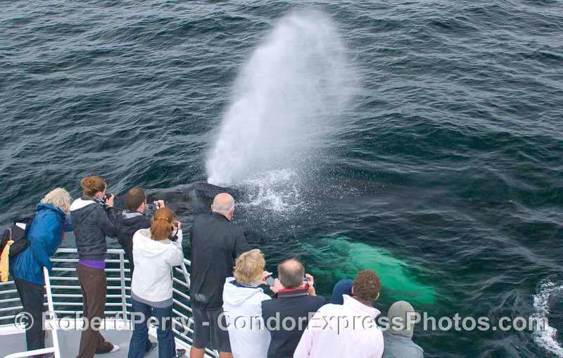 An extremely friendly and curious Humpback Whale (Megaptera novaeangliae) blasts the Condor Express crew with its spout.