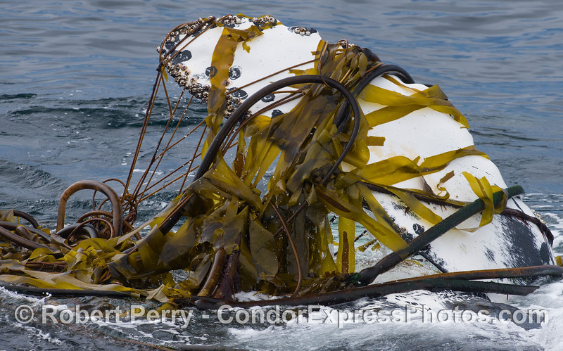 Humpback Whale (Megaptera novaeangliae) interacting with kelp (Nereocystis lutkeana and Macrocystis pyrifera).