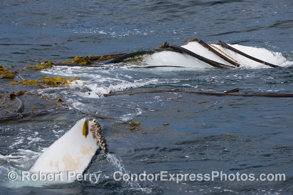 An upside down Humpback Whale (Megaptera novaeangliae) interacting with kelp (Nereocystis lutkeana and Macrocystis pyrifera), both pectoral fins out of the water.