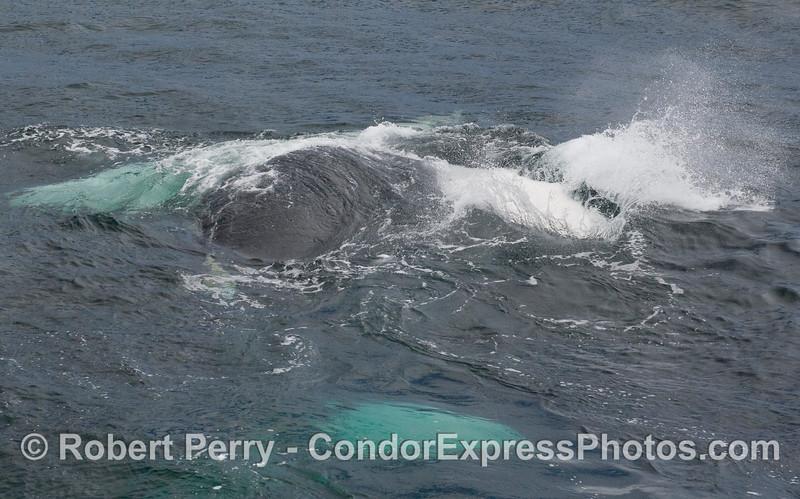 A pectoral fin slapping Humpback Whale (Megaptera novaeangliae).