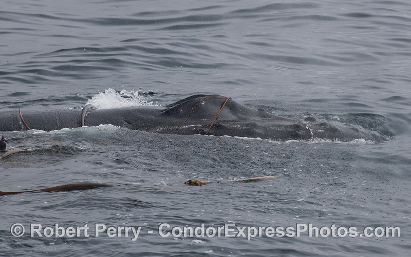 Knobby head and splashguard of a Humpback Whale (Megaptera novaeangliae) draped in kelp.