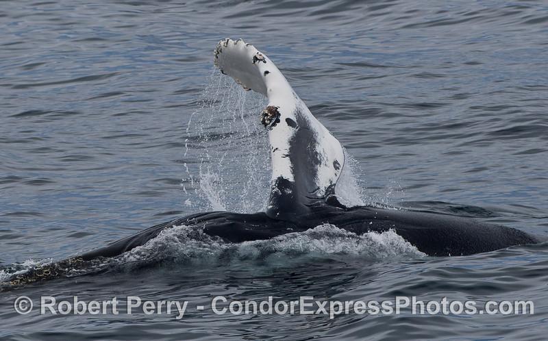 Pectoral fin of a Humpback Whale (Megaptera novaeangliae).