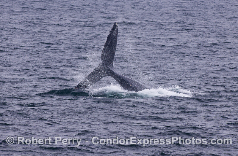 Humpback Whale (Megaptera novaeangliae) tail throw.