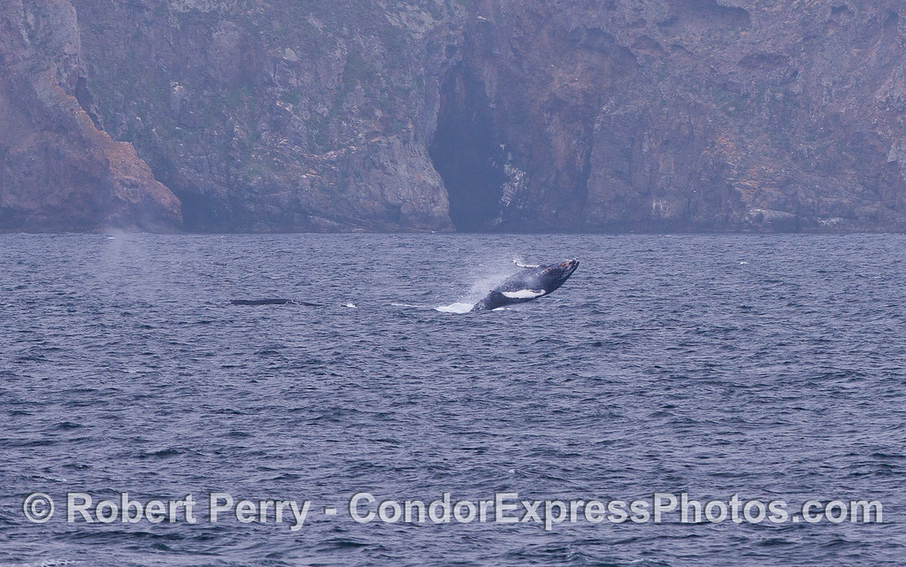 The world famous Painted Cave of Santa Cruz Island provides a backdrop for a breaching Humpback Whale (Megaptera novaeangliae).  A second Humpback has just spouted to the left.  A series, image 2 of 2.