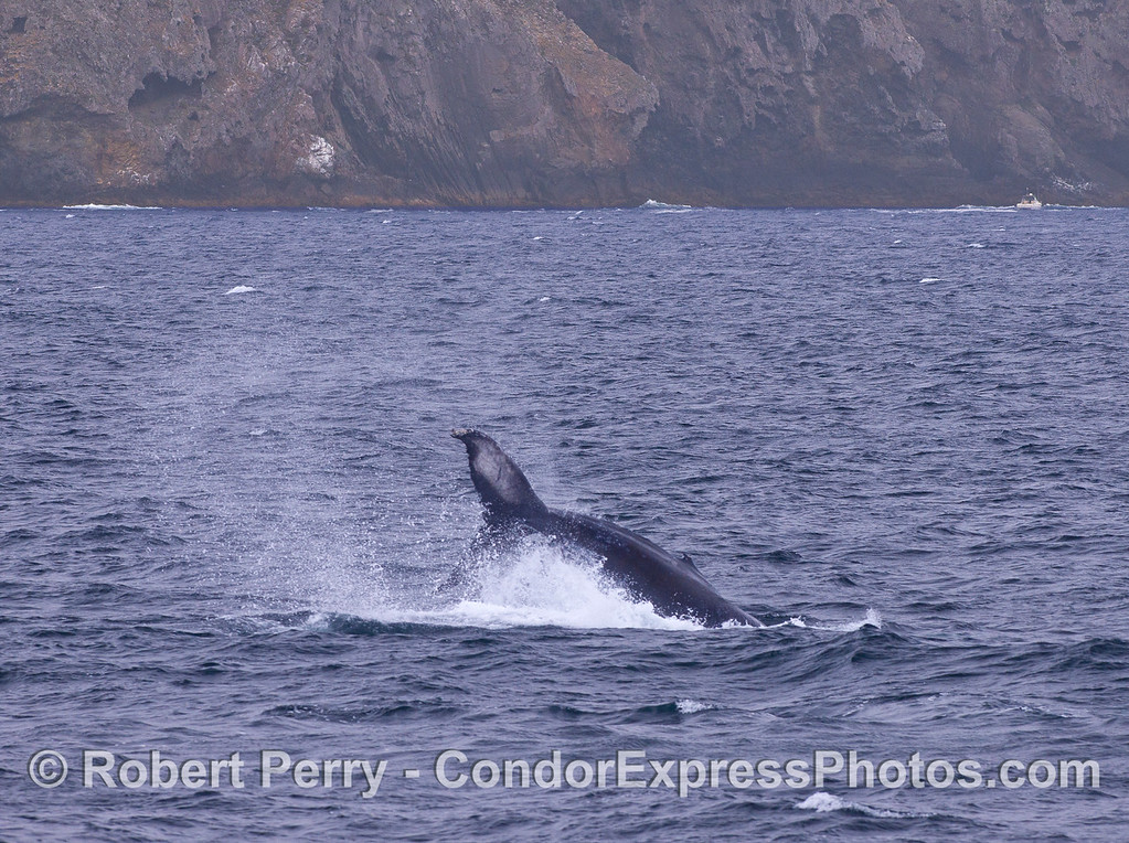 A Humpback Whale (Megaptera novaeangliae) throws its tail with Santa Cruz Island in back.