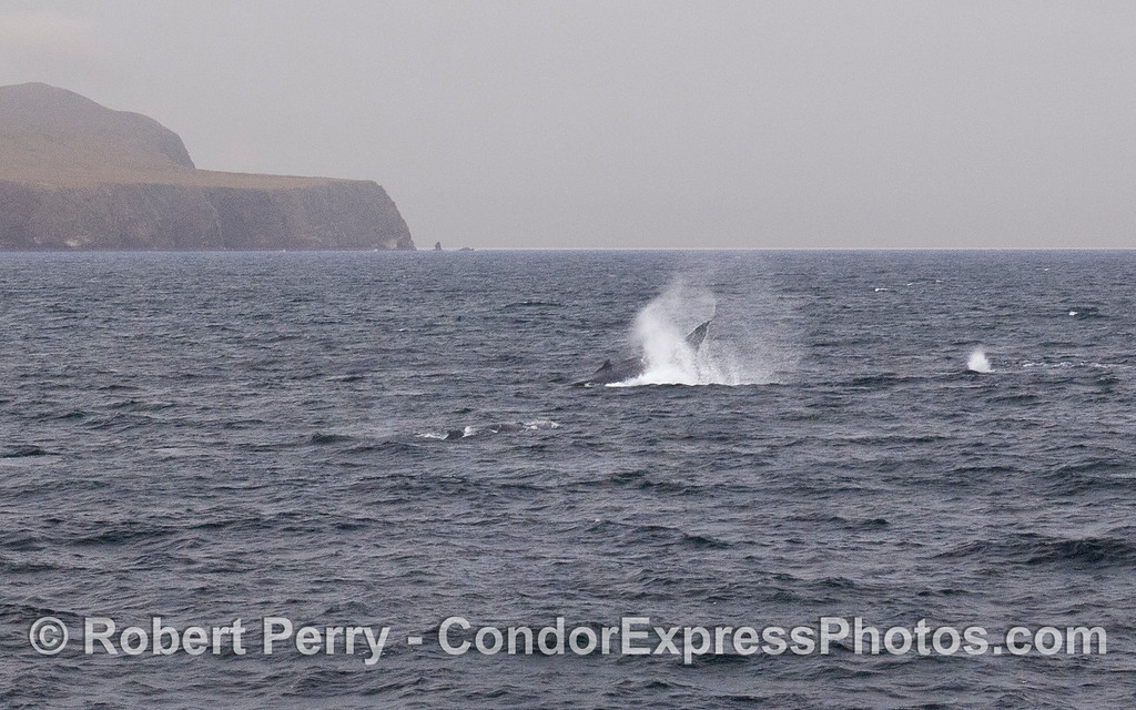 Three Humpback Whales (Megaptera novaeangliae) off the West End of Santa Cruz Island, and one throws its tail.