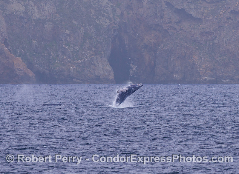 The world famous Painted Cave of Santa Cruz Island provides a backdrop for a breaching Humpback Whale (Megaptera novaeangliae).  A second Humpback has just spouted to the left.  A series, image 1 of 2.
