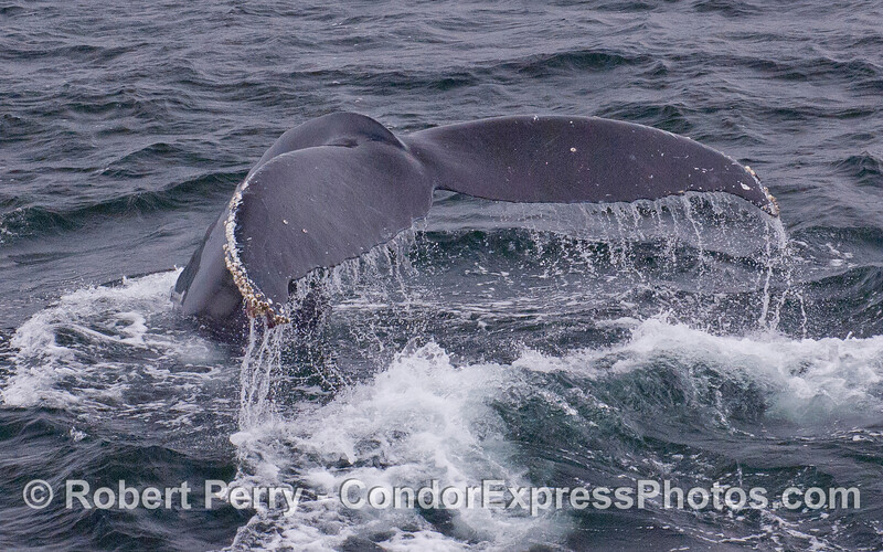 Tail fluke waterfall - Humpback Whale (Megaptera novaeangliae).