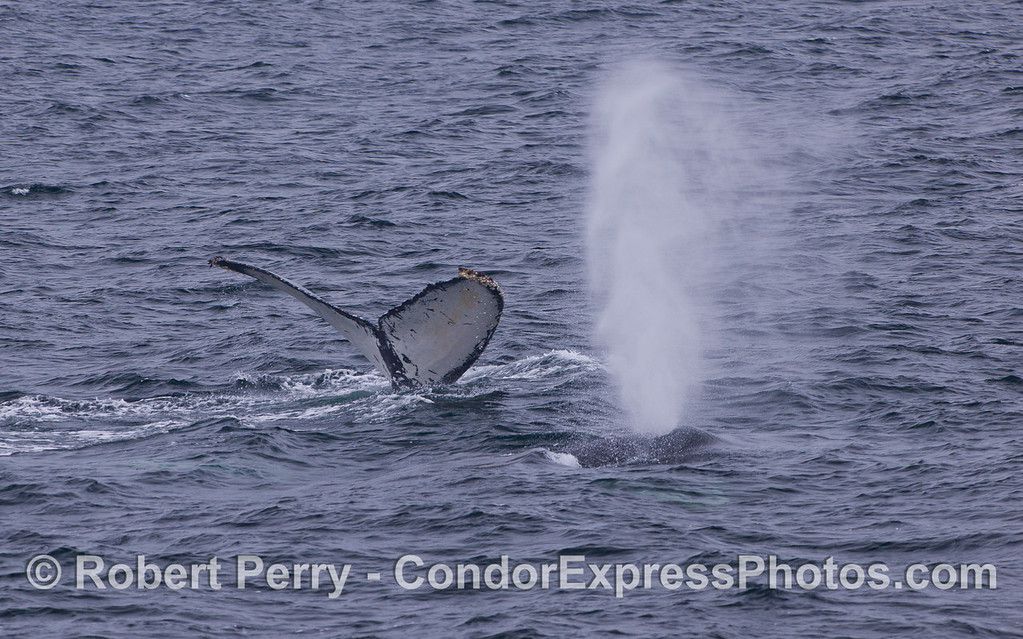 Two Humpback Whales (Megaptera novaeangliae), one tail, one spout.