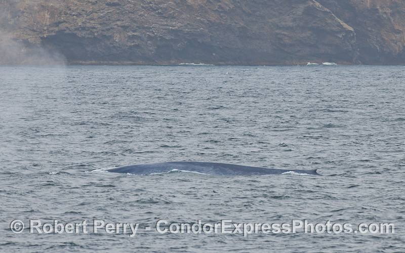 A giant Blue Whale (Balaenoptera musculus) at Santa Cruz Island.
