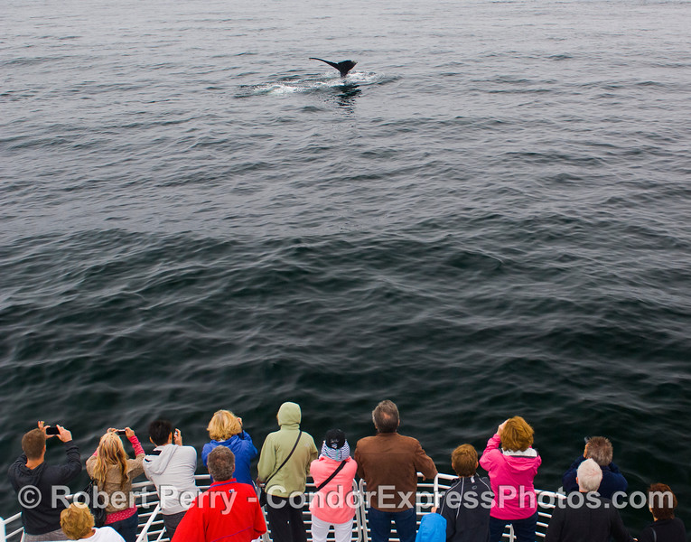 """A Humpback Whale (Megaptera novaeangliae) shows off its tail flukes.  Special guest """"Marilyn"""" Monroe was there to see the show."""