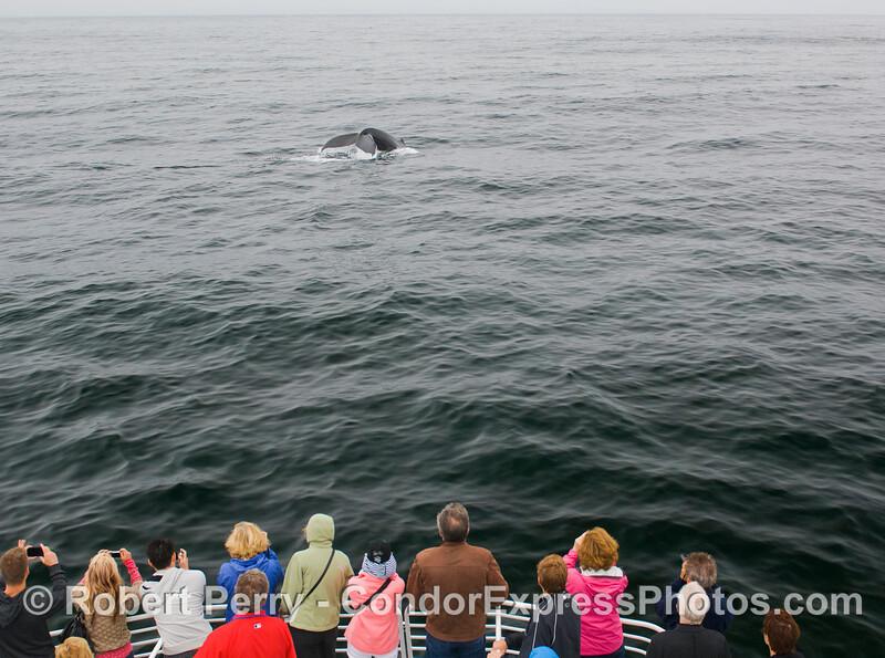 Humpback Whale (Megaptera novaeangliae) tail.