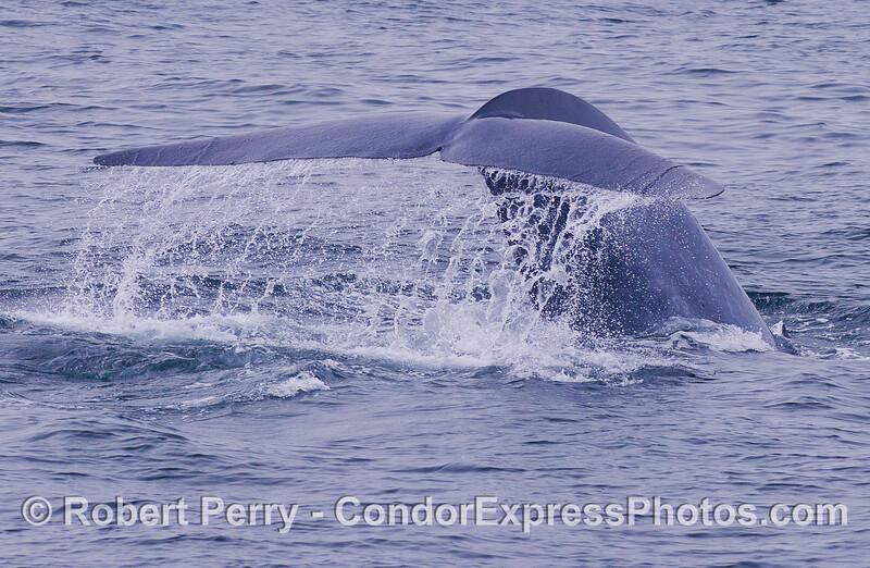 Blue Whale (Balaenoptera musculus) tail fluke waterfall.