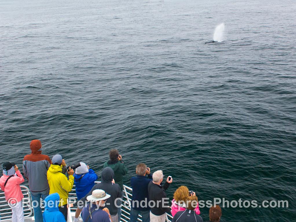 Humpback Whale (Megaptera novaeangliae) spout.