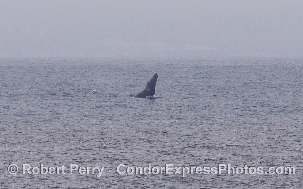 Humpback Whale (Megaptera novaeangliae) chin slapping.