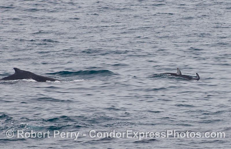A Humpback Whale (Megaptera novaeangliae) being led by Pacific White-sided Dolphins (Lagenorhynchus obliquidens).
