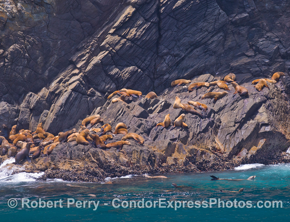 Tons of fun - California Sea Lions (Zalophus californianus) hauled out on the rocky cliffs at Santa Cruz Island.