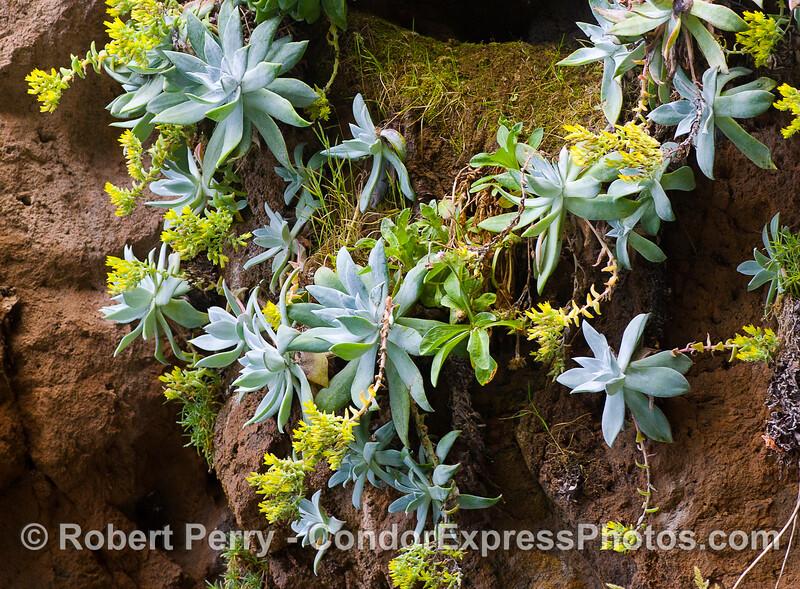 Santa Cruz Island Dudleya (Dudleya nesiotica).