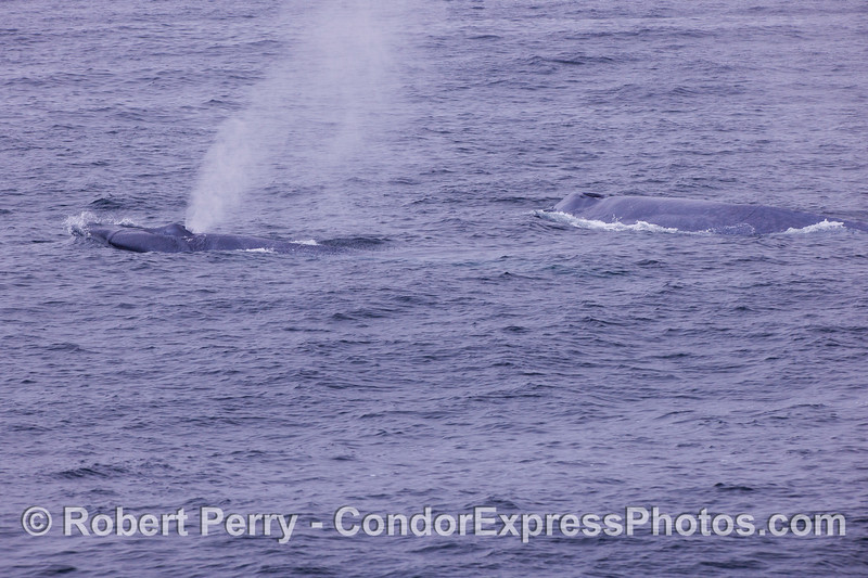 Mother (right) and her calf (left) Blue Whales (Balaenoptera musculus).