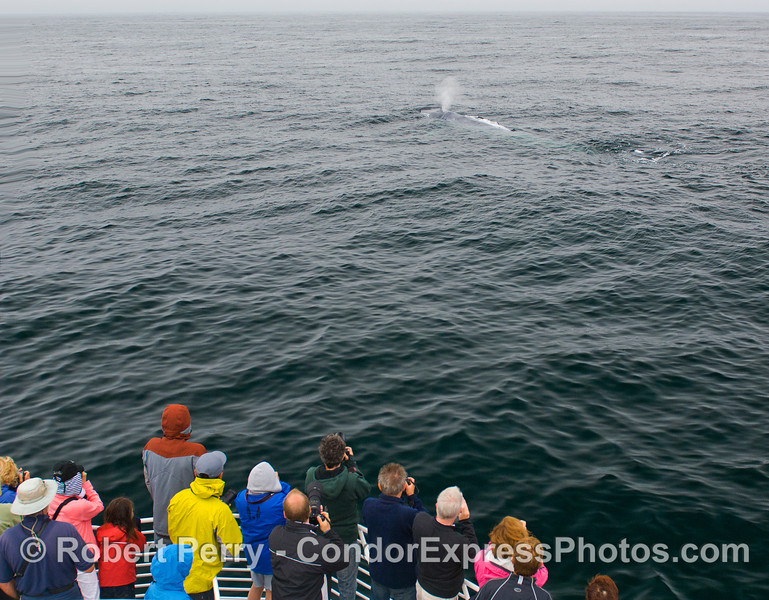 A friendly giant.  A Blue Whale (Balaenoptera musculus) visits the Condor Express.