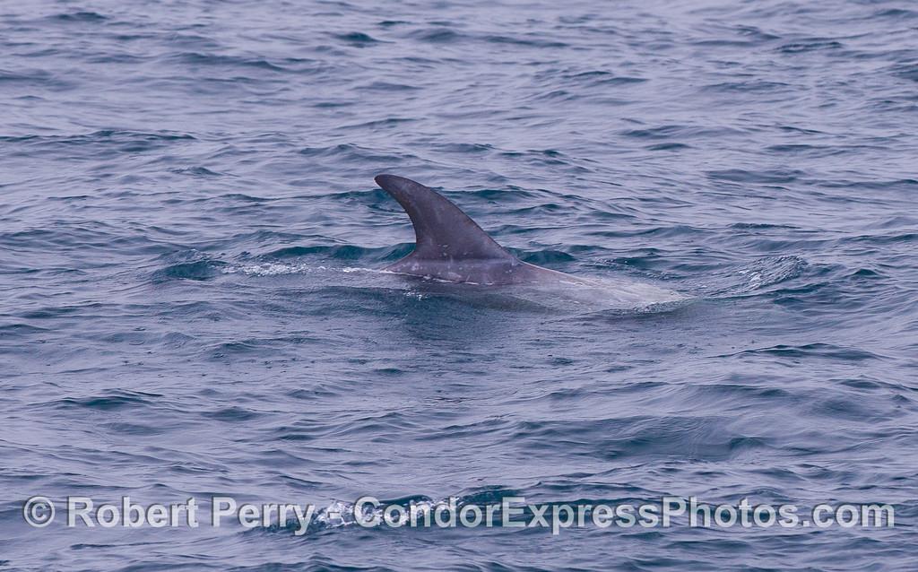 Tall dorsal fin of a Risso's Dolphin (Grampus griseus).