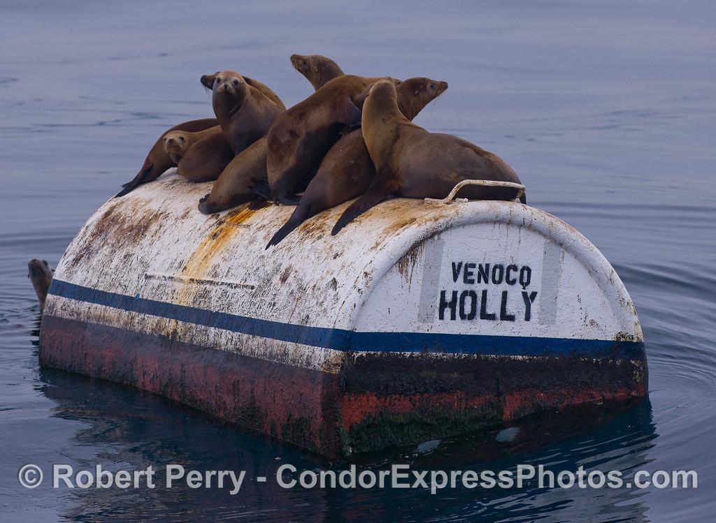 California Sea Lions (Zalophus californianus) on mooring can.